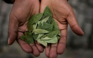 Cocabladeren in Bolivia