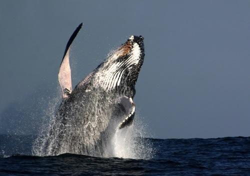 Grijze walvis in Canada