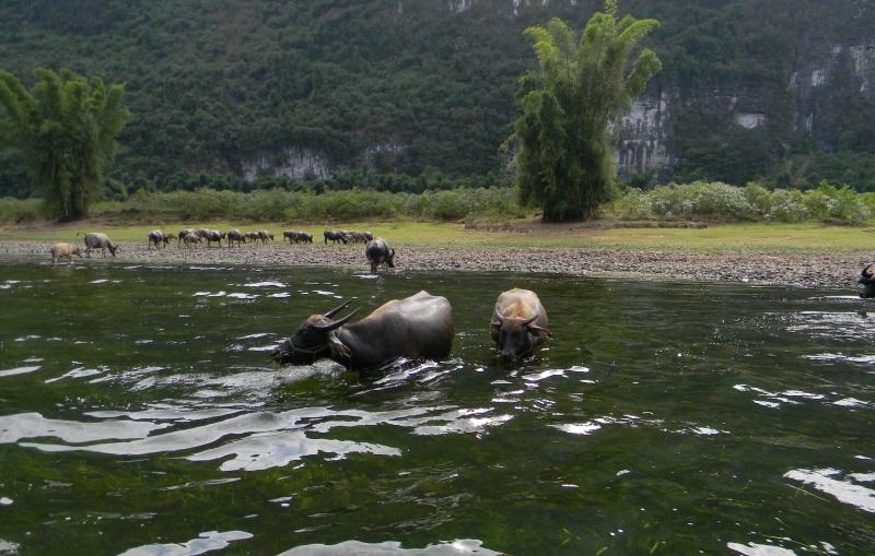 Waterbuffels op Li Rivier