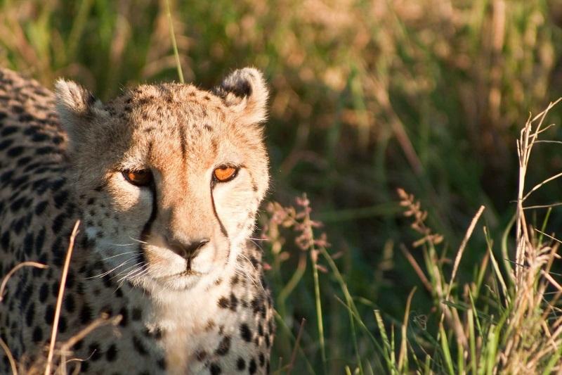 Masai Mara Nationaal Park, Kenia