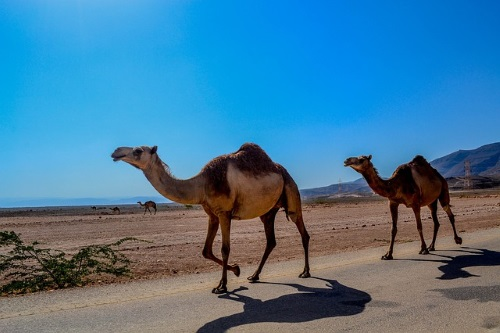 Kamelen Salalah